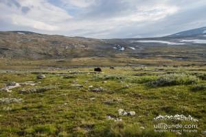 Moschusochsen im Dovrefjell, keine 20 Meter entfernt (leider mit Weitwinkel fotografiert...)